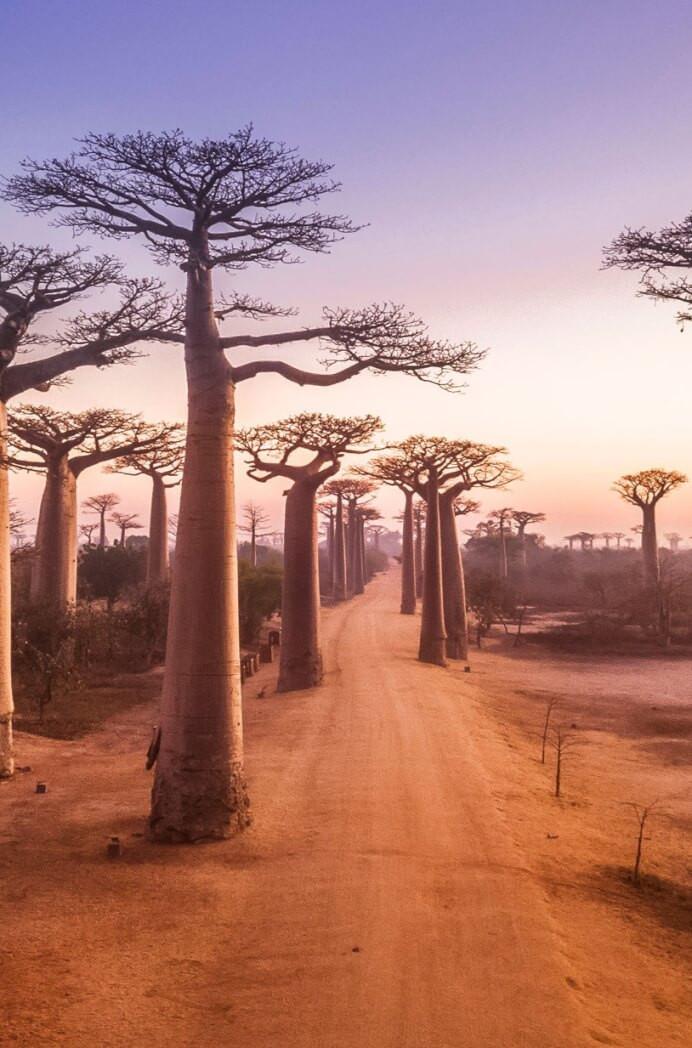 Alej-baobabov-poznáte-niečo-viac-charakteristické_